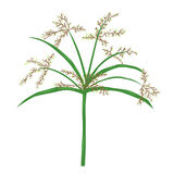 Papyrus or nile grass illustration, isolated plant vect Royalty Free Stock Photography