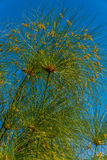 Papyrus plant. Blooming papyrus plant (Cyperus papyrus) known as paper reed or Nile grass Stock Image