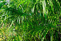 Papyrus plant Cyperus papyrus Royalty Free Stock Image