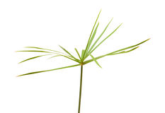 Papyrus plant Stock Photos