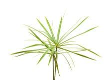 Papyrus plant Stock Image