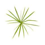 Papyrus plant Royalty Free Stock Images