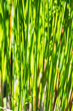 Papyrus plant Royalty Free Stock Image