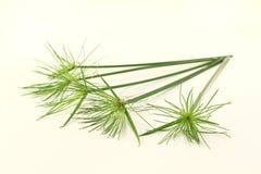 Papyrus plants Stock Image