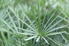 Papyrus, Wasserpflanzen Lizenzfreie Stockbilder