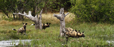 Paquet africain de chien sauvage dans l'action Images stock