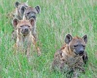 Paquet d'hyène Photos libres de droits