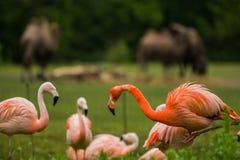 Paquet d'oiseaux lumineux dans un pré vert près du lac Les flamants exotiques ont saturé le rose et les couleurs oranges avec les photographie stock libre de droits