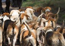 Paquet de chiens de chasse anglais d'indicateur Images libres de droits