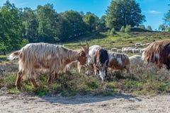 Paquet de fin de moutons étant ensemble avance par un sheepherder photographie stock