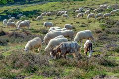 Paquet de fin de moutons étant ensemble avance par un sheepherder photo libre de droits