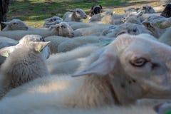 Paquet de fin de moutons étant ensemble avance par un sheepherder images libres de droits