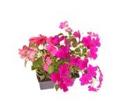 Paquet de jeunes plantes roses et pourpres d'impatiens prêtes pour la greffe Photographie stock libre de droits