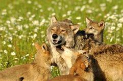 Paquet de loups dans le domaine des fleurs image libre de droits