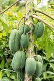 Paquet de papaye Photographie stock