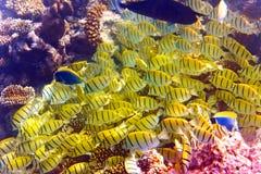Paquet de poissons jaunes dans l'Océan Indien Image libre de droits