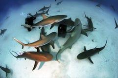 Paquet de requin Photographie stock