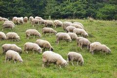 Paquet de sheeps sur l'herbe Photographie stock