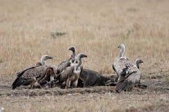 Paquet de vautours dévorant la carcasse Image stock