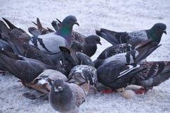 Paquete de comer palomas Imágenes de archivo libres de regalías