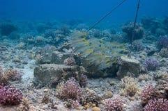 Paquete de goatfishes del yellowstripe imagenes de archivo