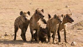 Paquete de hyenas Fotografía de archivo libre de regalías