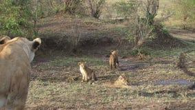 Paquete de leones con los jóvenes en Kenia metrajes