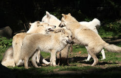 Paquete de lobo ártico Imagenes de archivo