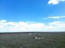 Paquete de ovejas fotos de archivo libres de regalías