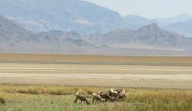 Paquete de ovejas de carnero con grandes cuernos imágenes de archivo libres de regalías