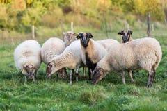 Paquete de ovejas con en el pasto foto de archivo