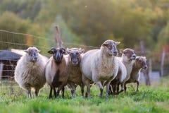 Paquete de ovejas con en el pasto foto de archivo libre de regalías