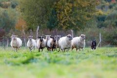 Paquete de ovejas con un perro de pastor australiano foto de archivo libre de regalías