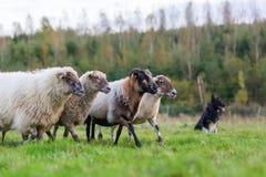 Paquete de ovejas con un perro de pastor australiano imagen de archivo libre de regalías