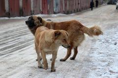 Paquete de perros perdidos Fotografía de archivo