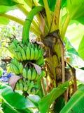 Paquete de plátanos Fotografía de archivo