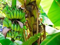 Paquete de plátanos Foto de archivo libre de regalías
