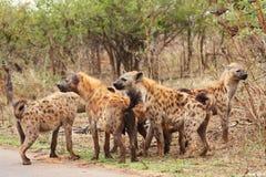 Paquete de vinculación de la hiena en el parque de Kruger Imágenes de archivo libres de regalías