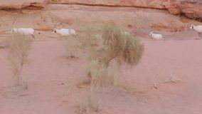 Paquete de Wadi Rum Oryx almacen de video