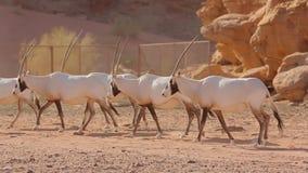 Paquete del Oryx del ron del lecho de un río seco en la colina de la arena metrajes