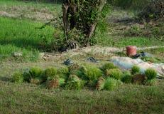 Paquetes verdes recién cosechados del arroz Imágenes de archivo libres de regalías