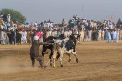 Paquistán rural, la emoción y el toro de la pompa compiten con Fotos de archivo