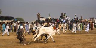 Paquistán rural, la emoción y el toro de la pompa compiten con fotografía de archivo libre de regalías