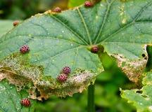Parásito de insecto de la mariquita manchada patata Fotografía de archivo