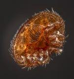 Parásito de la abeja del destructor de Varroa Imagen de archivo libre de regalías