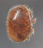 Parásito de la abeja del destructor de Varroa Fotografía de archivo