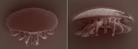 Parásito de la abeja del destructor de Varroa Fotos de archivo libres de regalías