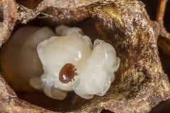 Parásito de la abeja del destructor de Varroa Fotografía de archivo libre de regalías