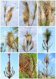 Parásito procesional de la polilla del pino fotos de archivo