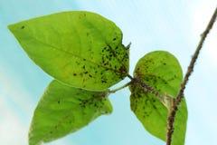 Parásitos de insecto Imágenes de archivo libres de regalías